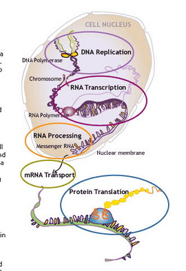 RNA-DNA.jpg